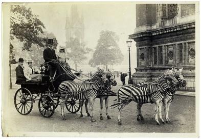 lionel-orhtshicld-zebras