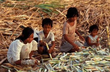Children Working on Sugar Cane Plantation